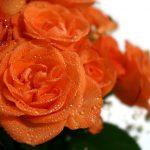 roses-1029193_640