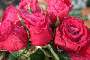bouquet-of-roses-1279824_640